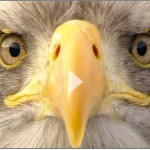 Sehen mit Adleraugen – Wie gut sieht ein Adler wirklich?
